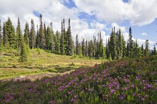 Trees and a flowery meadow in Squamish, BC, Canada